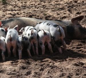 Burbuja del porcino ahoga a pequeños productores españoles