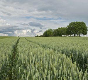 Cosecha argentina de trigo superará los 17 millones de toneladas este año