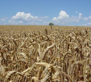 Cosecha de trigo en Argentina aumentará en el ciclo 2017-2018